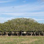albero fico formentera